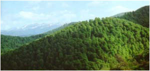 Armenian Forests